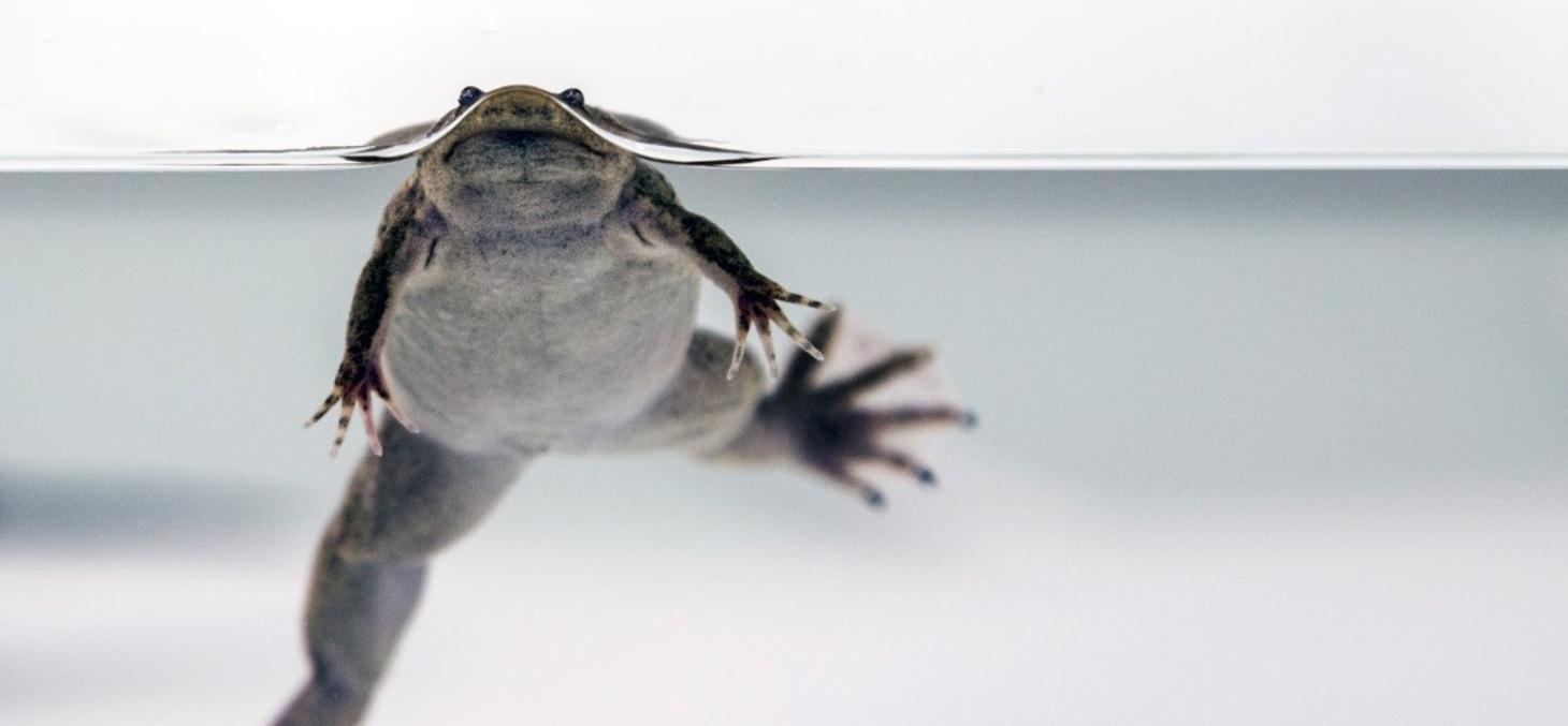 Xénope tropicalis adulte (© Muriel Raveton)