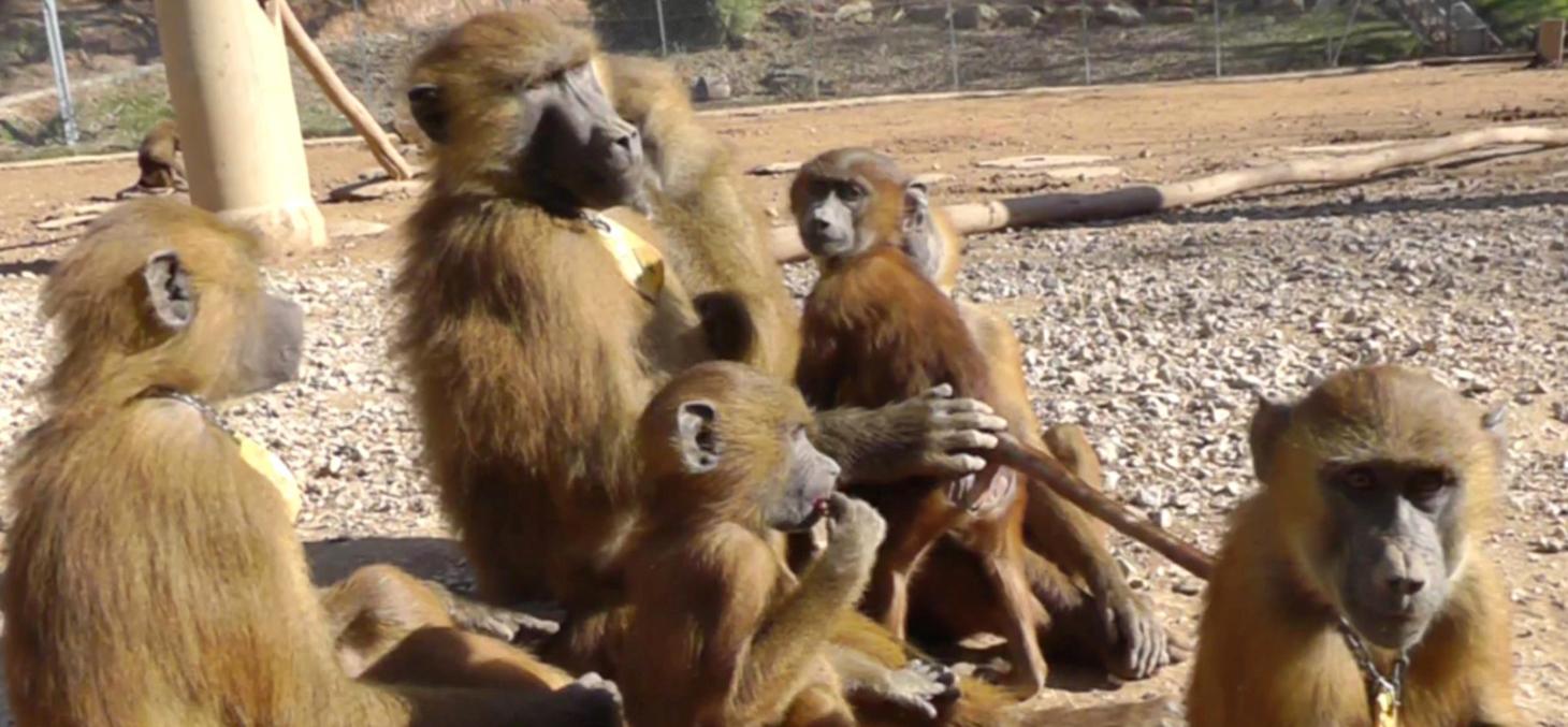 Image in situ des babouins enregistrés © Caralyn Kemp et Julie Gullstrand / Laboratoire de psychologie cognitive (CNRS / AMU)