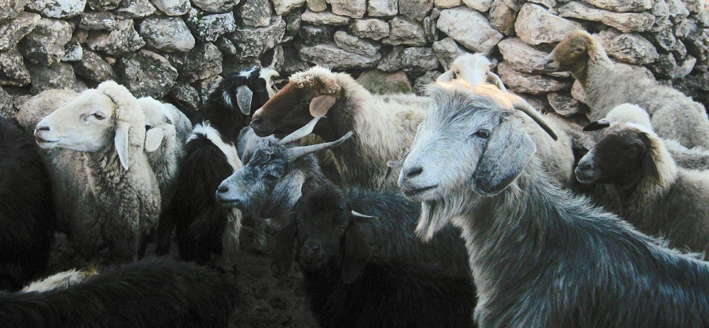 Elevage traditionnel de chèvres et moutons (Maroc) © B.Benjelloun
