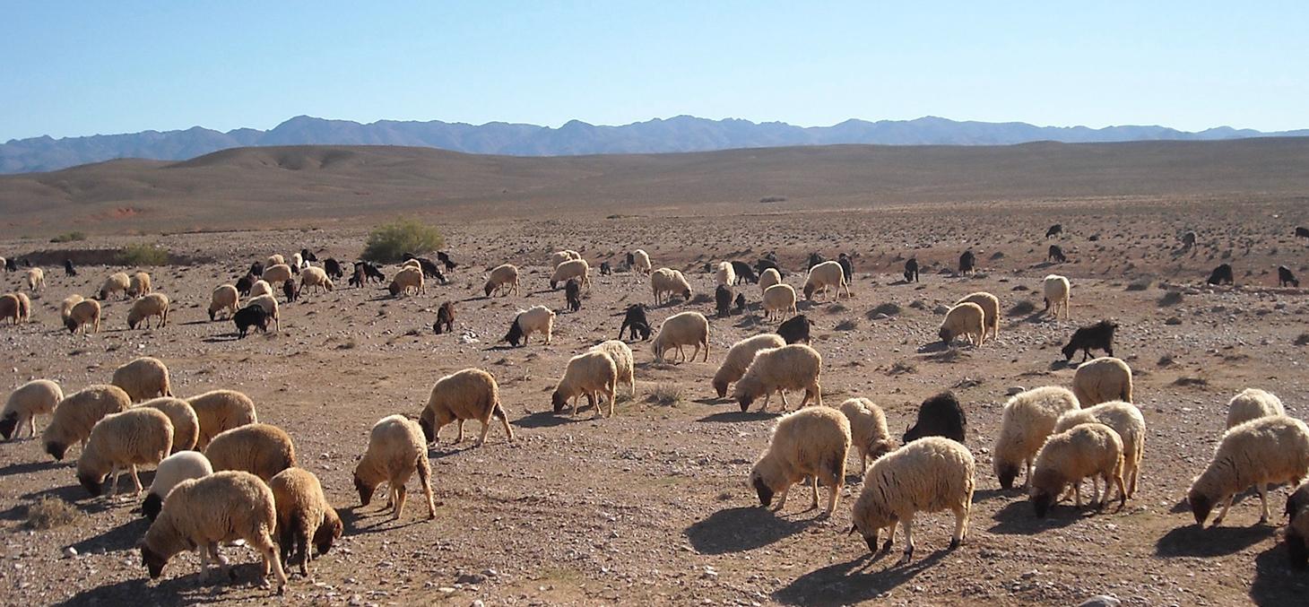 Troupeau mixte de chèvres et moutons élevés dans l'Atlas © F. Pompanon