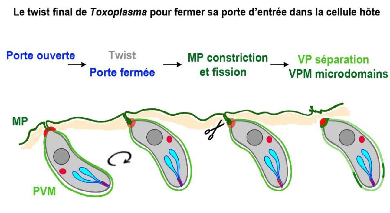 Le parasite, une fois rentré dans la cellule, effectue une rotation qui lui permet de refermer la porte qu'il avait ouverte.