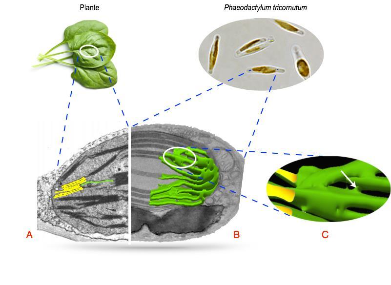 Comment le phytoplancton domine-t-il les océans ?