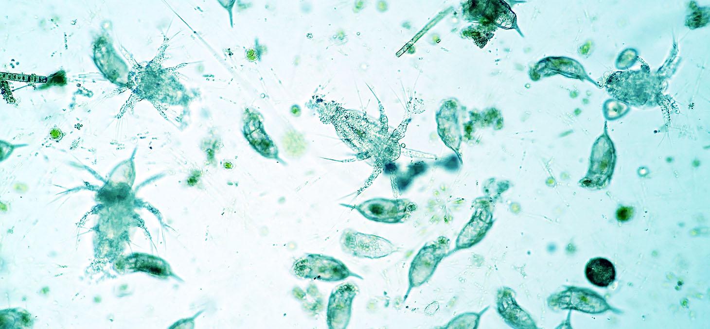 Vue microscopique de phytoplancton d'eau douce
