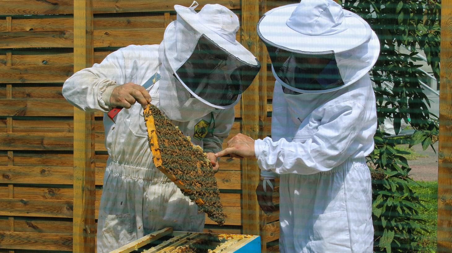 Les abeilles sont en pleine en santé ! Une semaine après leur arrivée, deux nouveaux cadres ont rajoutés dans chacune des ruches
