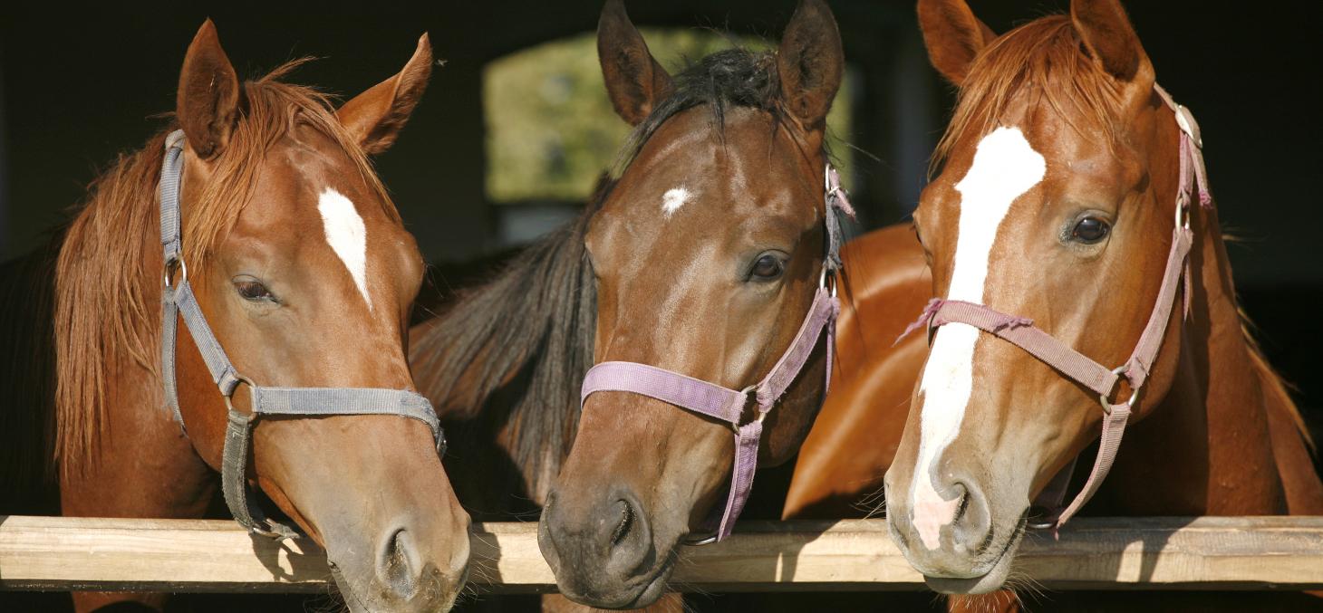 Une vague de crimes et mutilations à l'encontre de chevaux fait frémir la France depuis plusieurs mois. Shutterstock