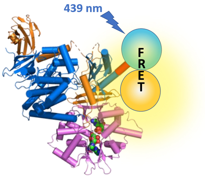 AMP-activated protein kinase (AMPK)